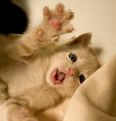 20080812_8307b (Fantasyfan.) Tags: pet smiling animal topv111 cat mouth paw topv555 topv333 kitten open reaching teeth tabby adorable tiny topv777 fantasyfanin elfaba highqualityanimals