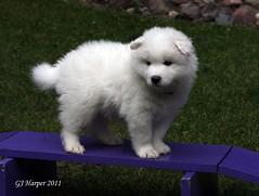 WindySullieWeek5 141red (Tundra Ice) Tags: dog dogs puppy puppies samoyed echo windy sullie tundraice windysullieweek5