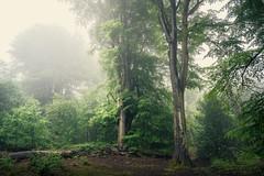 Fellbrigg Woods - 30/05/2016 (Matthew Dartford) Tags: eastanglia bokeh depth distance fog foggy forest glow glowing horizontal layers lines norfolk sidelight soft spooky tree wood woodland