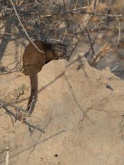 Safari Day 2-669.jpg (kunjaaa) Tags: safariday2 mongoose safari honeymoon animal