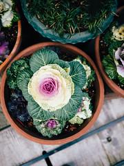 Takayama Walks #4 (david.ow) Tags: olympus cabbage travel plants nature spring em5ii city gifu pottedplants takayama japan street