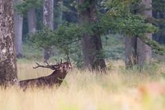 cerf laphe (cervus elaphus) (G.NioncelPhotographie) Tags: cerf laphe cervus elaphus mammifre animaux sauvage brame fort