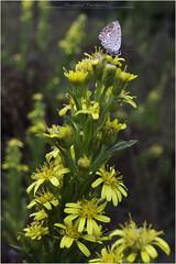 . (biondot) Tags: macro licenide sigma1020mmf456exdc canon7d fiorispontanei