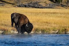 Thirsty (craig goettsch - on the road again!) Tags: bison yellowstonenp mammal wildlife nature river water blue fireholeriver bull male horn nikon d500 sunrays5 ngc npc