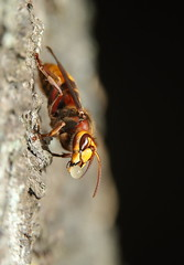 European hornet (Mike Mckenzie8) Tags: vespa crabro british uk wild wildlife insect nest swarm outdoor flash photography canon macro sting forest tree woods feeding