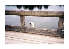 Between Here And There (Punkroyaltiger) Tags: film analog mju swan kodak