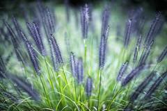 bright light of autumn (slowhand7530) Tags: nikon d800e nikkor 50mm f12 ainikkor50mm12 bright light autumn weed