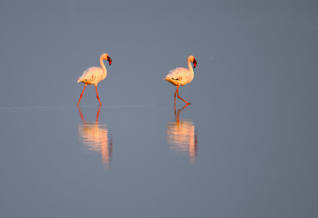 2011_02_13_016065_Lesser_Flamingoes_Crop_Rs