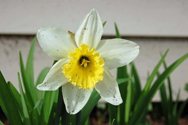 dirty daffodil