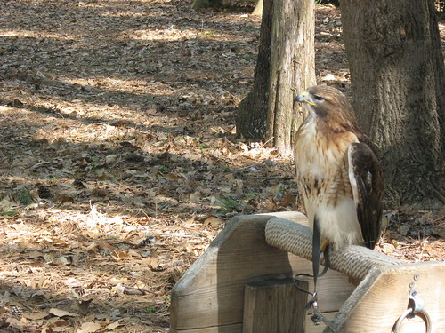 Red Tailed Hawk * Buteo Jamaicensis
