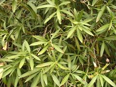 Oleanders - Healthy