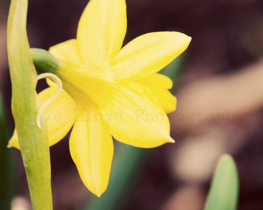 Yellow Daffodil Back