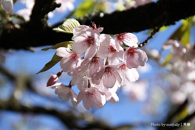 2011阿里山櫻花季晴天版05