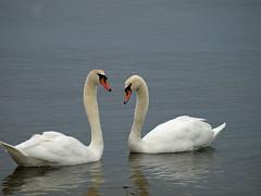 Schwne (Ostseetroll) Tags: swan schwan