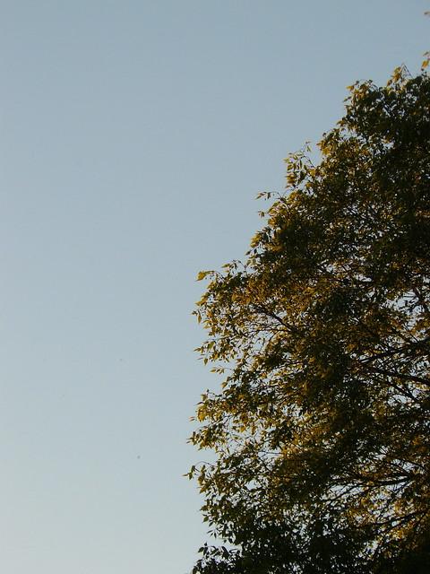 celtis australis in the sunsetting light