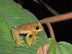 Tree frog (Boophis sp.?), Mitsinjo Reserve, Andasibe (Niall Corbet) Tags: tree nationalpark rainforest frog madagascar andasibe anura perinet parcnational boophis mitsinjo