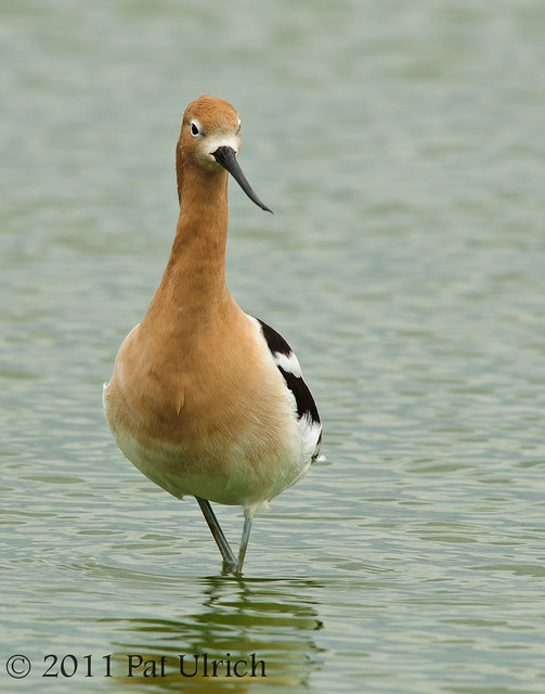 American avocet standing tall - Pat Ulrich Wildlife Photography