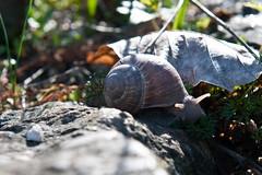 Kriechend (koDesign) Tags: licht nikon snail basel morgen schatten schnecke stimmung d300 botanischergarten weinbergschnecke leuchten grapevinesnail largegardensnail nikkor2470f28