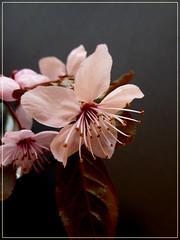 Kirschblte im Dmmerlicht (Nefesh*) Tags: flower fleur cherry lumix spring panasonic cherryblossoms blume frhling kirschblte blhen zierkirsche japanischekirsche dmc8 flickrsportal nefesh1