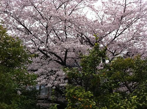 桜(本願寺聞法会館前)
