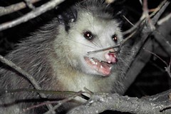 opossum (snakewisperer) Tags: blue red wild sky usa cloud brown fish black guy green beach dogs nature beautiful animals yellow tongue gold yahoo google collie long flickr turtle earth reptile snake teeth frog lizard pot dirt strike 77 speckled herp flicker boarder slither herpetology potofgold snakewisperer