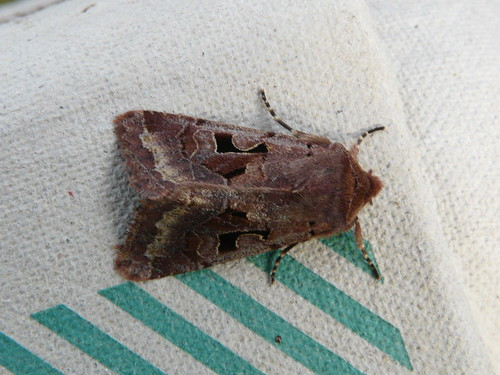 Hebrew Character (Orthosia gothica) by Peter Orchard