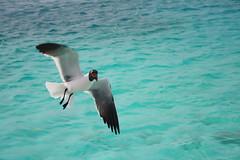 (Ana Meche Pisani) Tags: seagulls venezuela caribbean gaviotas losroques marcaribe