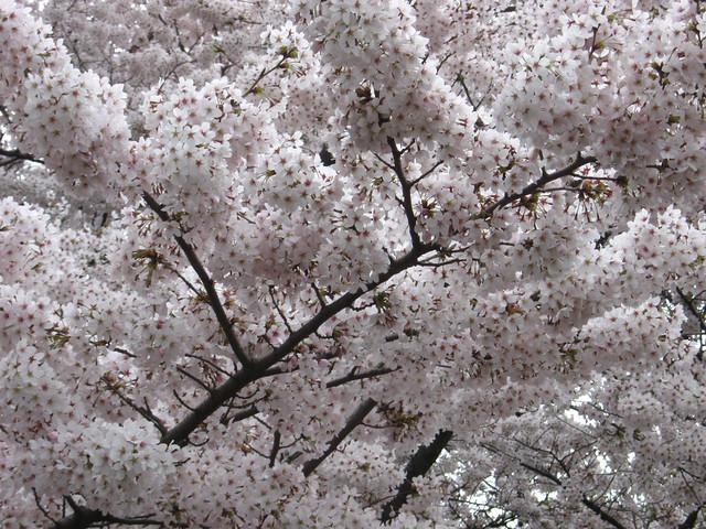 一面の白い桜のフリー写真素材