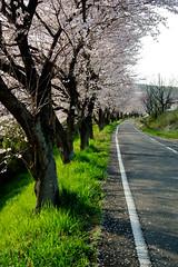 2011 Spring of Seto city-10 (yuchan's point of view) Tags: japan spring finepix  sakura fujifilm cherryblossoms aichi seto    hs10