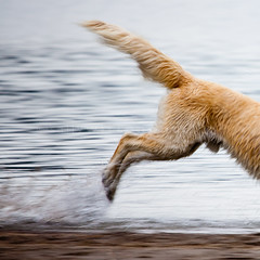 Anything for a stick (sallykelso) Tags: dog lake water goldenretriever movement tail running motionblur backhalf