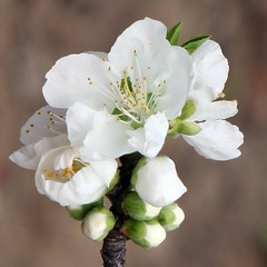 Peach Flower_White_5 (Phyllis Photographie) Tags: flowers nature spring shanghai peachflower