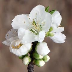 Peach Flower_White_5 (PQZ2011) Tags: flowers nature spring shanghai peachflower