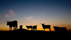 Una gita al parlamento (Finasteride (Magro Massimiliano)) Tags: tramonto corna mucche tolfa civitavecchia buoi finasteride mandria allumiere magromassimiliano cerveterigallery