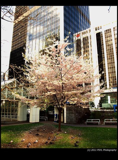 Lone Blossom Tree