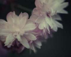 Sakura (sole) Tags: pink flowers trees light flower colour macro primavera nature ilovenature photography spring soft foto fotografie blossom sweet pastel natuur cherryblossom dreamy lente bloesem bloemen betuwe sole carmengonzalez sierkers japanesesakura