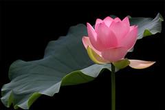 Lotus Flower - IMG_3148-800 (Bahman Farzad) Tags: flower macro yoga peace lotus relaxing peaceful meditation therapy lotusflower lotuspetal lotuspetals lotusflowerpetals lotusflowerpetal