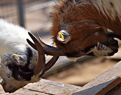 Wrestling (Andy von der Wurm) Tags: nature animal closeup wrestling goat ziege fighting nahaufnahme tier kmpfen kaempfen hobbyphotograph andreasfucke