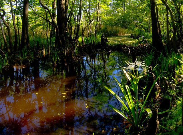 spider lily landscape