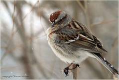 American Tree Sparrow (Spizella arborea) (Sharon's Bird Photos) Tags: winter snow nature backyard wildlife birding northdakota nationalgeographic americantreesparrow spizellaarborea traillcounty