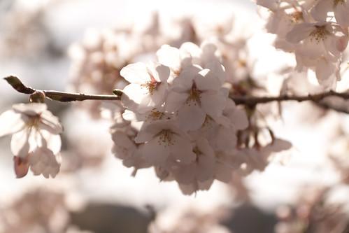 見附公園の桜3