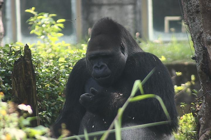 木柵動物園(金剛猩猩)022