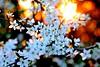 hawthorn (D.Reichardt) Tags: life new sunset nature beauty germany garden season 50mm spring warm europe blossom availablelight future alive reborn norddeutschland mygearandme