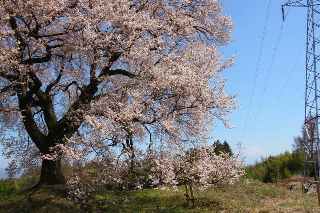 Sakura Photo 2011Wanizuka cherry blossom (6)