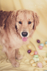You are NOT putting those ears on me (Golden Moments Petography) Tags: boy dog chien male guy yellow canon easter 50mm golden rainbow friend canine retriever dude hund lad eggs niko 18 k9 leech iphotooriginal 60d northman