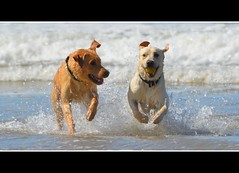 Friends forever.... (Levels Nature) Tags: uk sea england dog dogs water animal animals ball fun coast action joy devon chase splash woolacombe northdevon abigfave saariysqualitypictures