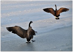 Landing on the Ice (Stella Blu) Tags: stella canada ice outdoors frozen flying geese spring pond edmonton blu goose l