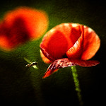 Hover Poppies thumbnail