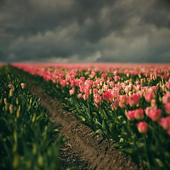 Tulipanes (sole) Tags: pink sky holland primavera nature landscape spring focus tulips earth noordoostpolder motherearth pinktulips bollenvelden digitalcameraclub wonderfulworldofflowers 100commentgroup