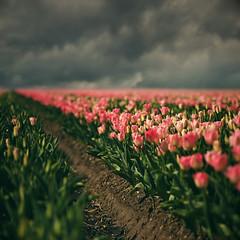 Tulipanes (soleá) Tags: pink sky holland primavera nature landscape spring focus tulips earth noordoostpolder motherearth pinktulips bollenvelden digitalcameraclub wonderfulworldofflowers 100commentgroup
