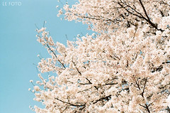 Cherry blossoms (yuki***) Tags: canon f1